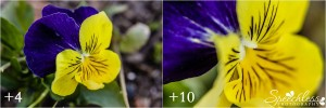 Macro filter yellow and purple pansy